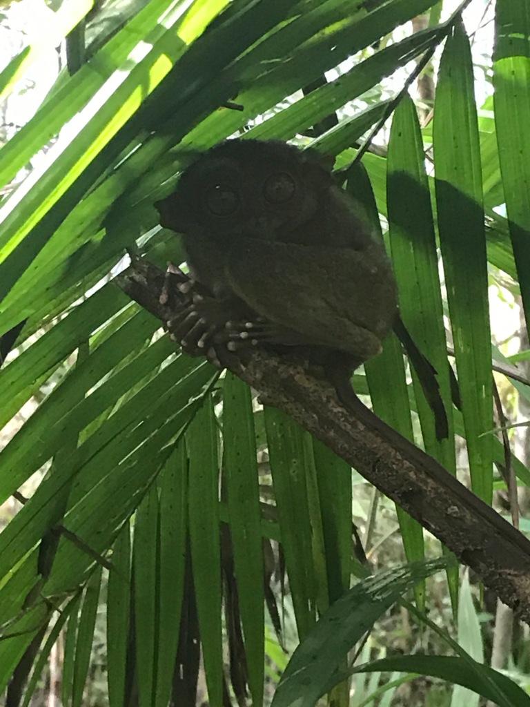 tarso-philippine-tarsier-sanctuary-bohol