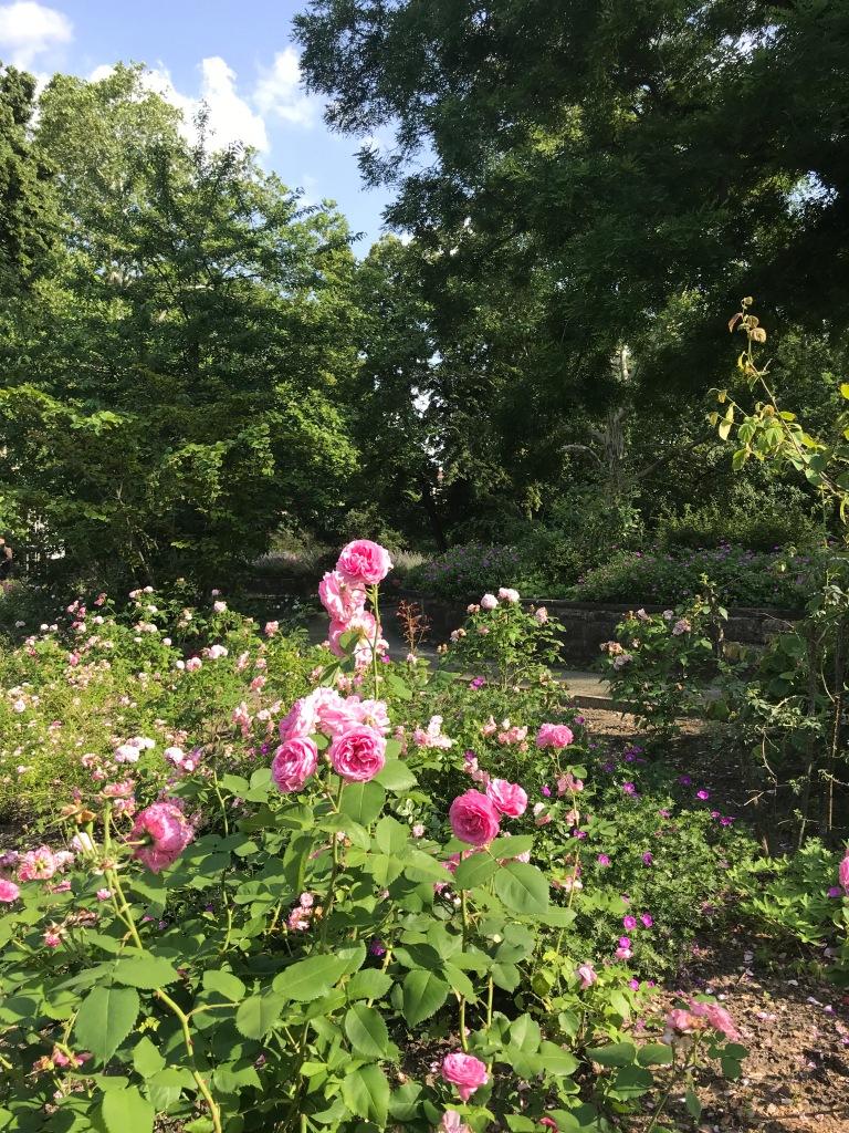 rose-rosa-viktoria-park-berlino