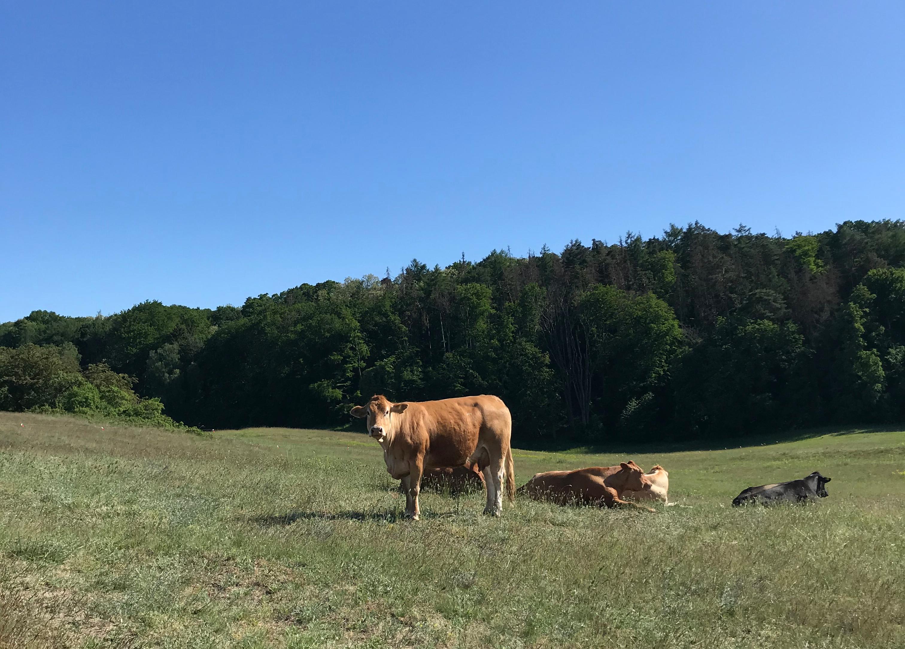 mucche-märkische-schweiz-germania