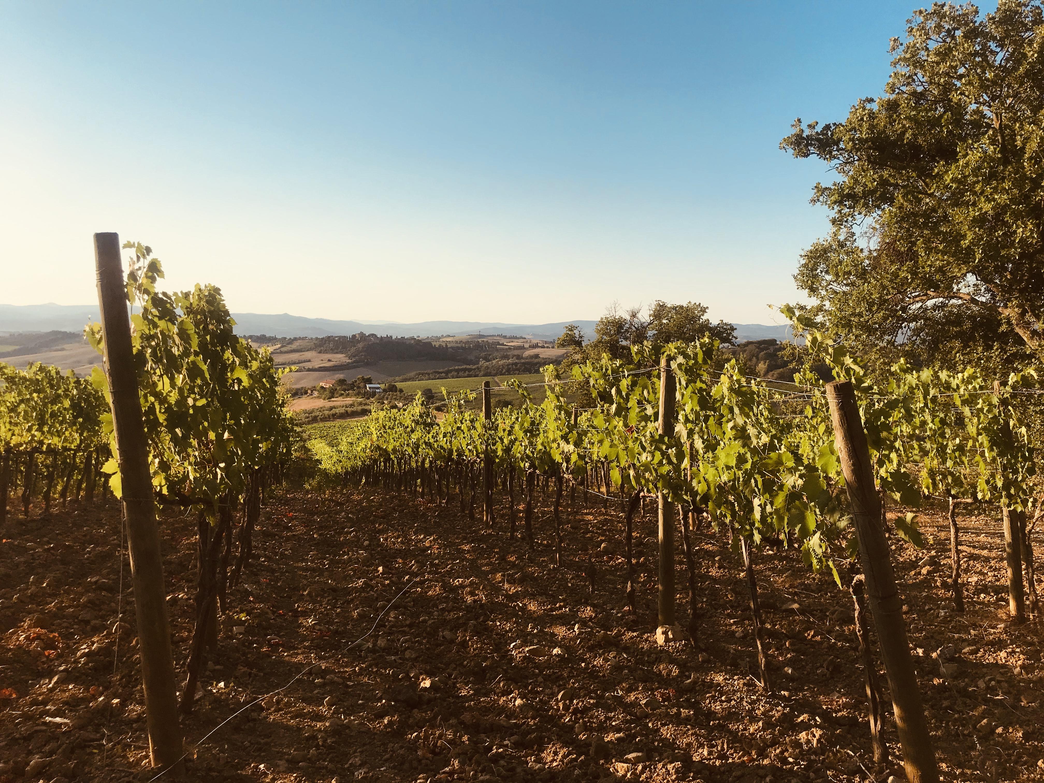vigneto-tramonto-cinigiano-toscana