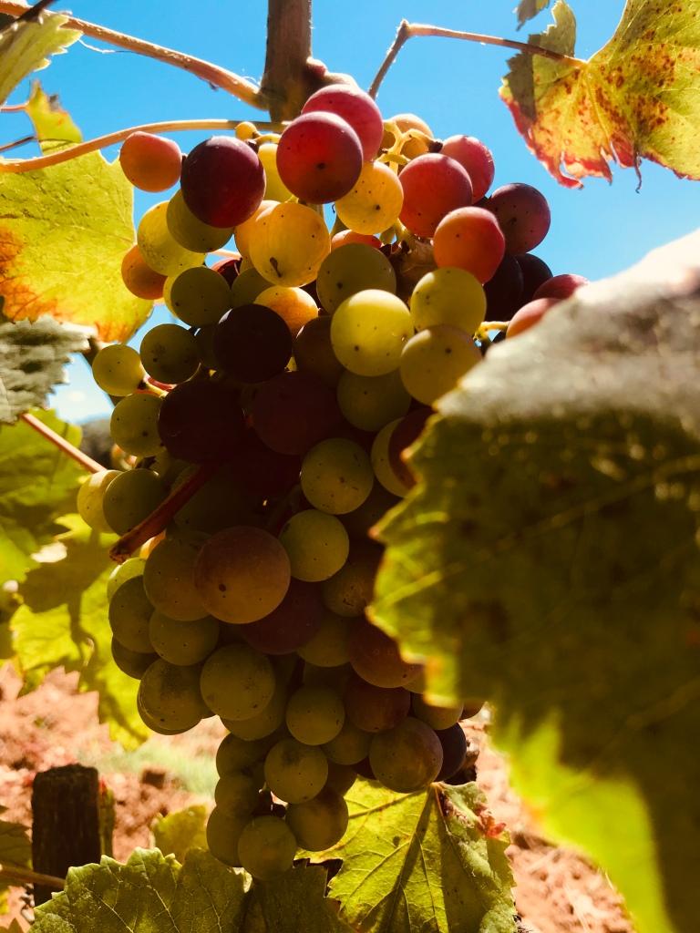 Un grappolo d'uva - Maremma, Toscana, Italia