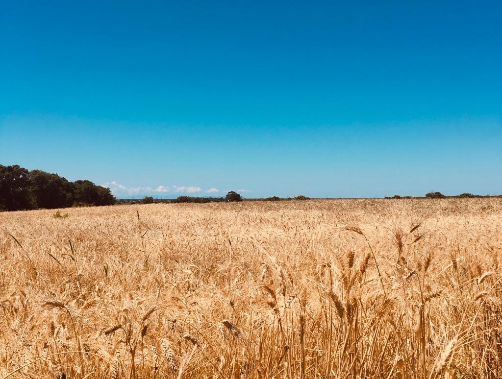 Campi di grano - Maremma, Toscana, Italia