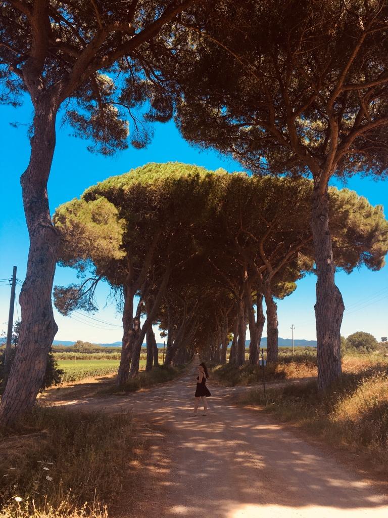 Pini marittimi e vigneti - Donoratico, Toscana, Italia