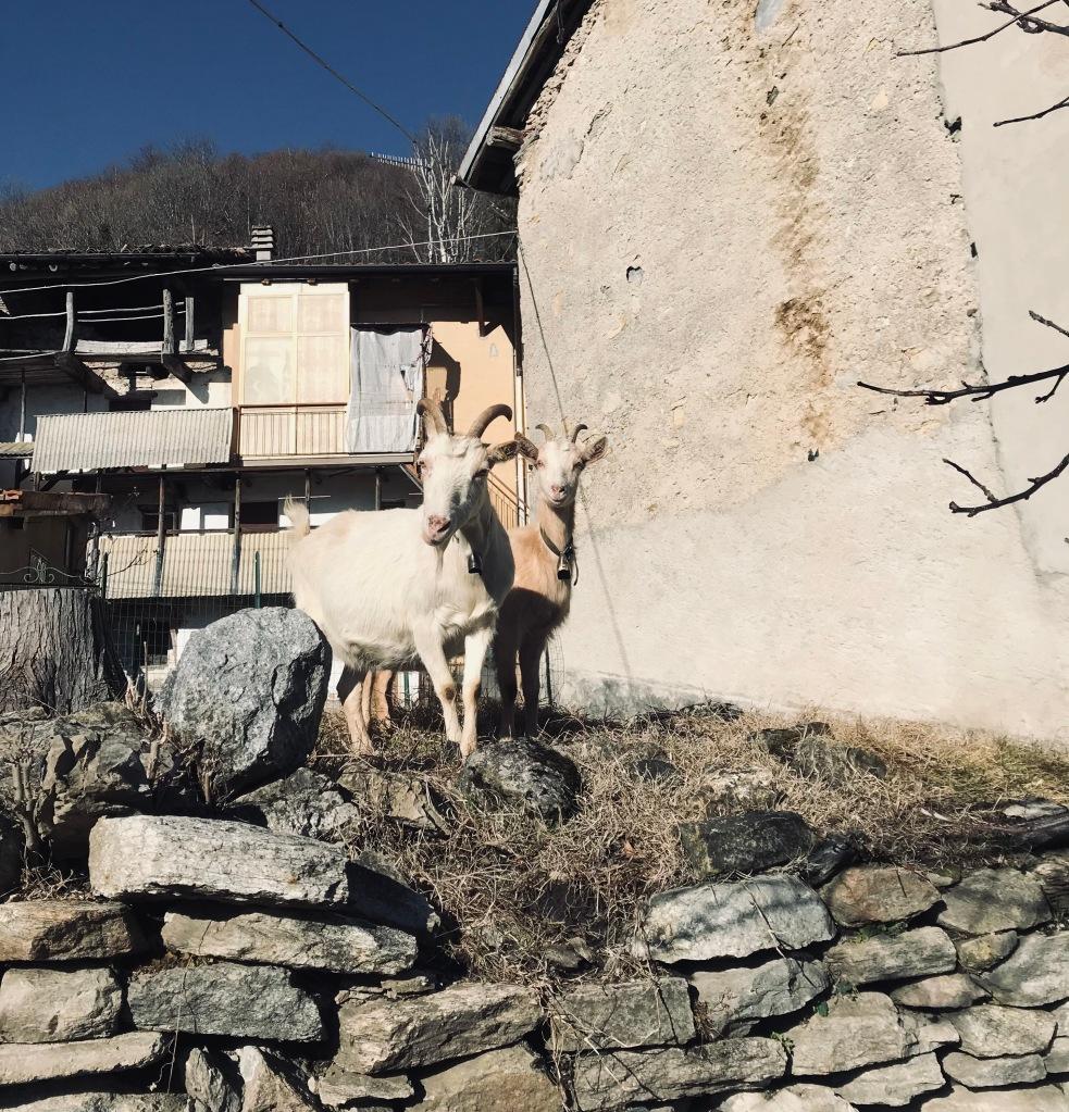 Tra i pochissimi abitanti di Vararo, anche queste caprette - Vararo, Varese, Italia